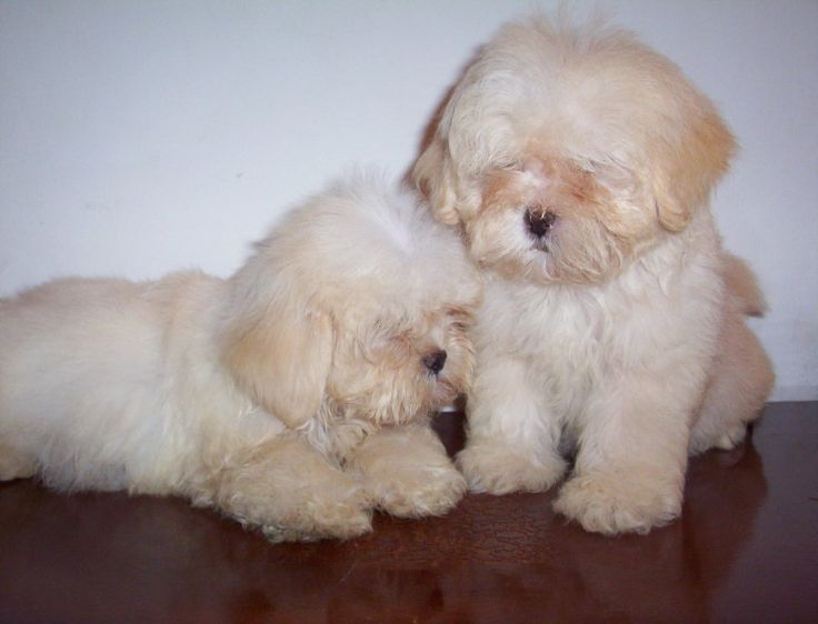 Lhasa Apso ... oooh they look like mine as a puppy - now he's really adult