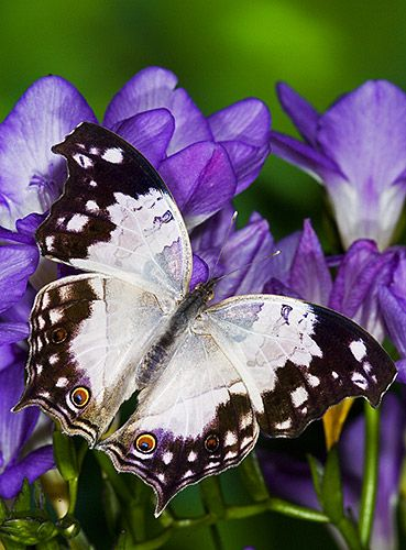 Salamis anacardii - Clouded Mother of Pearl Butterfly
