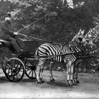 Who was driving the famed #zebra #carriage in #London? Walter Rotschild! The 2nd baron of Rotschild was a keen zoologist. He owned the largest zoological collection ever amassed by a private individual: 2,250,000 butterflies, 300,000 bird skins, 30,000 beetles, as well as thousands of specimens of other animals. He sponsored many explorers and scientists, hence many animals species are today named after him. In his will, he donated the collection to the British Museum.