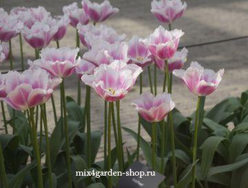 Нежные розовые тюльпаны