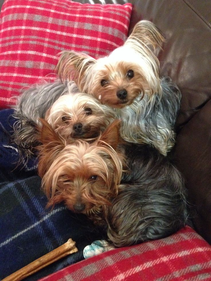 Cutest Yorkshire terriers :)