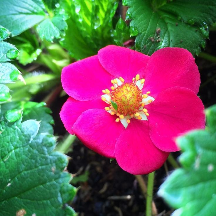 イチゴの花 赤  #hakone #ashinoko #kojiri #箱根 #芦ノ湖 #湖尻 #赤い花 #イチゴの花 #ストロベリー #紅茜 #家庭菜園 (by mmsta0220)