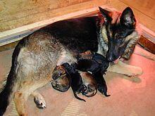 Chienne couchée avec des petits chiots de couleur plus ou moins noire, en train de dormir ou de téter