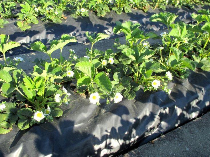 32 best planter des fraisiers sans entretien sur bache images on pinterest strawberry planting. Black Bedroom Furniture Sets. Home Design Ideas