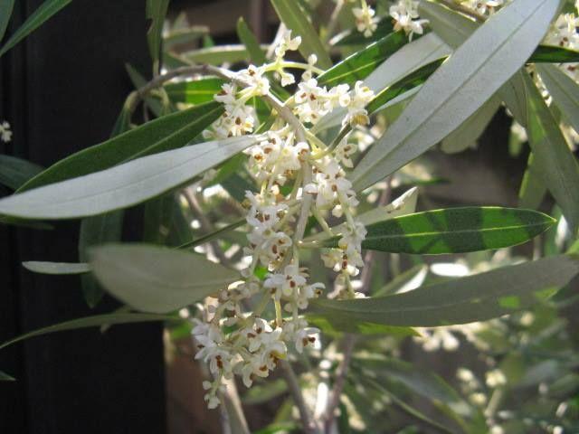 8月18日の誕生日の木は「オリーブ」です。 中近東・地中海沿岸・北アフリカが原産地と考えられる、モクセイ科オリーブ属に分類される常緑の中高木です。1594年にスペイン国王から樽に入ったオリーブの実が献上されものが、日本に最初に渡来したオリーブと言われています。オリーブの木自体が入ってきたのは江戸時代末にフランスからとされています。 オリーブの利用法といえばオリーブオイルですが、木材としても利用されます。 材質は硬く、重く、緻密で、油分が多く耐久性に優れ、また独特の木目が美しいという特徴を持ち、フローリングなどの床材や高級家具、小物類などとして利用されています。