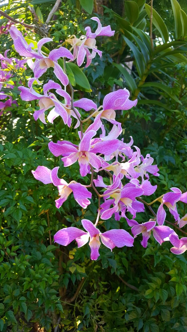 The majestic cooktown orchid.