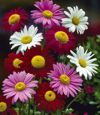 Bold Painted Daisies - A very dependable perennial that blooms late spring into summer. Zones 4-9
