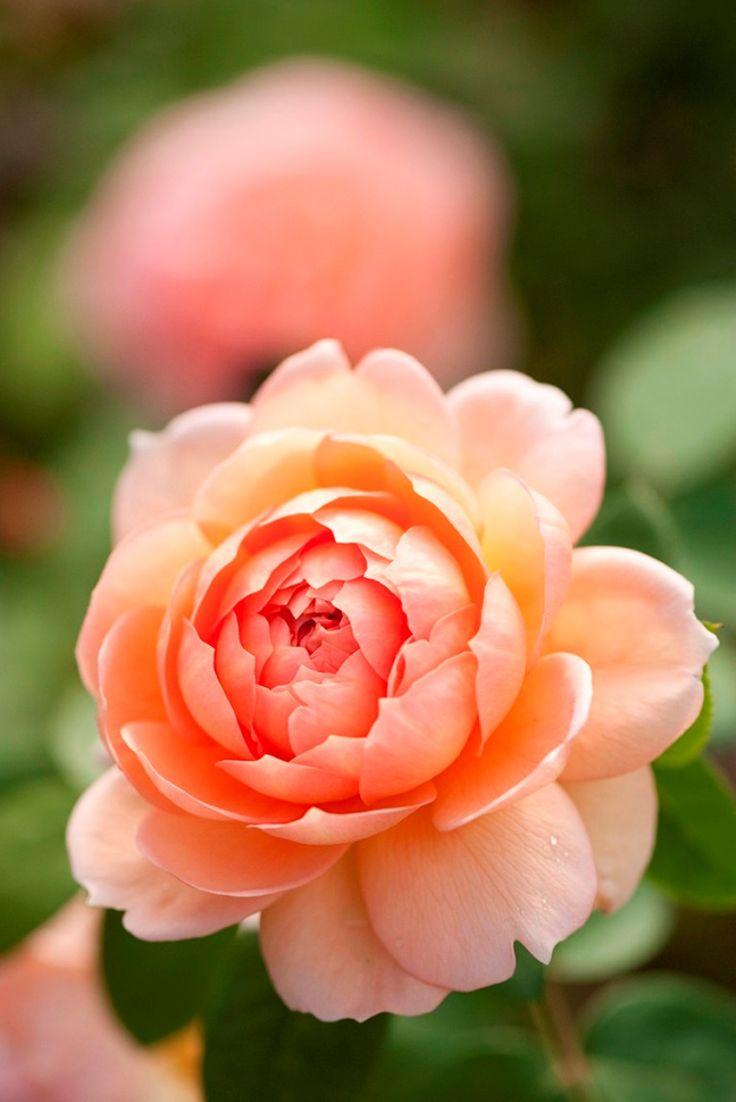 English rose gardens english rose garden seend - English Rose Collection Austin 2004