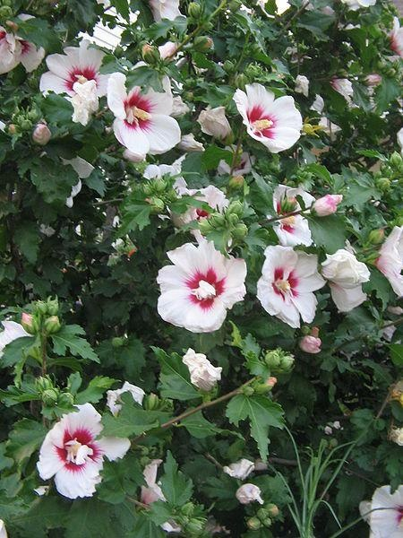 "[flower bush for hedge--have 2 that just ""showed up"" in our hedge, maybe add more...?] rose of sharon tree-definitely want a hedge row of these at the ranch"
