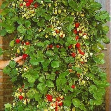 Fraisier Mount Everest  #plant #vine #fruit #strawberry_plant #color