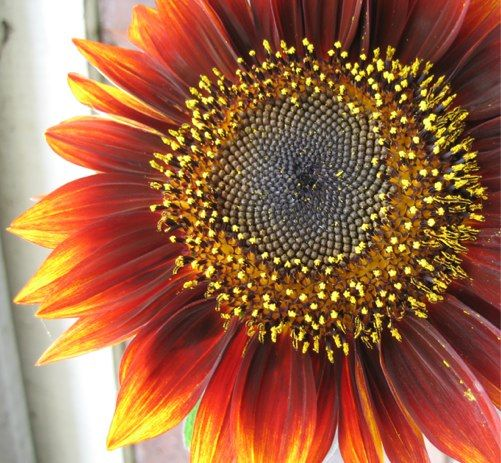 sunflowers | big bold and brassy sunflowers brighten us up nourish our soul and ...