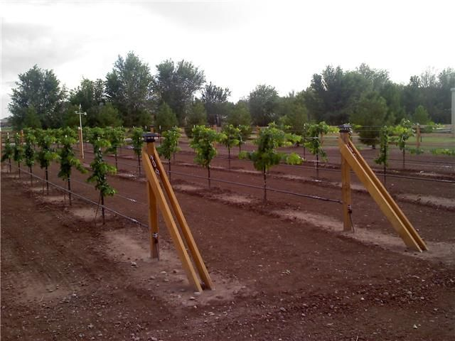 Backyard Vineyard Design : Grape vines, One year old and Trellis design on Pinterest