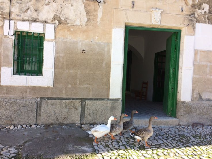 Biodiversity in our estate: geese . . .  Biodiversidad en nuestra finca: ocas