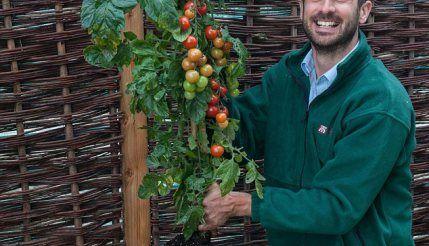 Il a créé une plante qui produit des tomates et des pommes de terre en même temps!