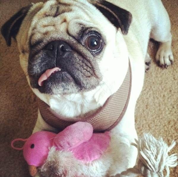 Pirate Pug Jack, The Cutest Pug On Instagram