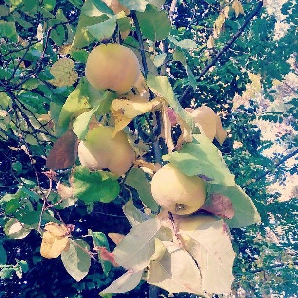 Pear-shaped fruit in the garden #garden #birsalma #kertem #Balaton #quince #fruity #healtyeat #inmykitchen #mygarden #hungarianvegan #bloggerinthekitchen #countrylife