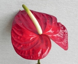 Burgundy Red - Anthurium - Exotic Blooms and Foliages - Flowers by category | Sierra Flower Finder