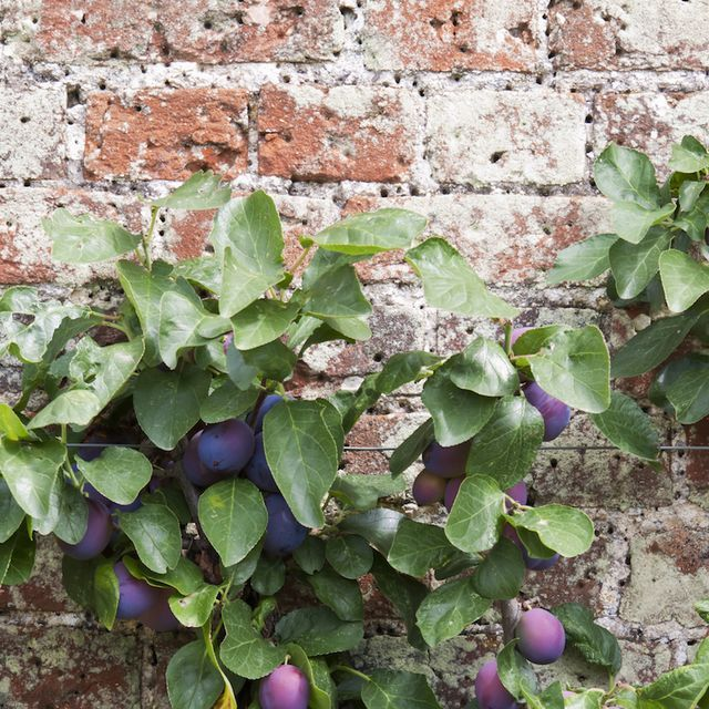 The Best Fruit Trees For Small Gardens A Guide To Dwarf Fruit Trees Fruit Trees Uk Dwarf Fruit Trees Fruit Trees