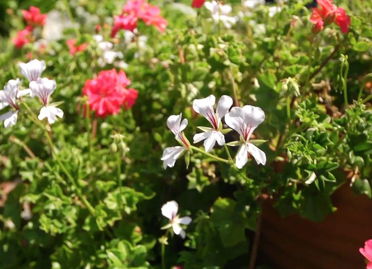 How to propagate geraniums