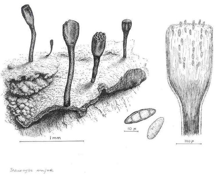 Lichen Illustrations  By Alexander Mikulin (mag@proaxis.com)   Stenocybe major