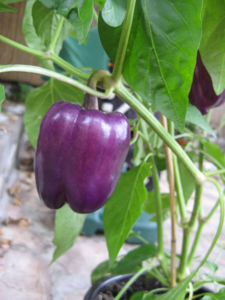 https://blog.kitchology.com/red-orange-yellow-and-purple-peppers/