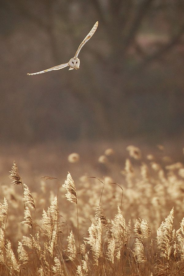 'Owl in flight ♥ Silent beauty!' -- Great capture & colours. --