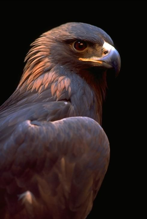 Golden eagle. Gorgeous.