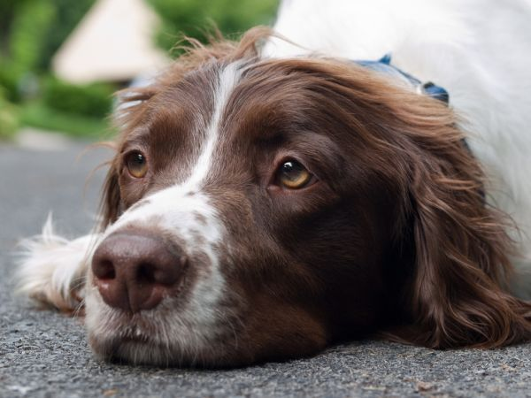 American Brittany Spaniel Dog Pet animal - I have seen this look on our Brittany's face - waiting for a walk, a carrot, a lap.