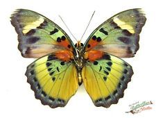 real butterfly collectable Euphaedra aureola SETx1 FM US Cameroon insect art