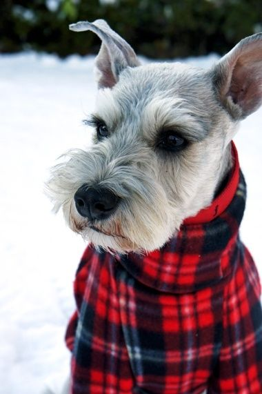 Schnauzer dressed for A Cold Winter Snow - Adorableness