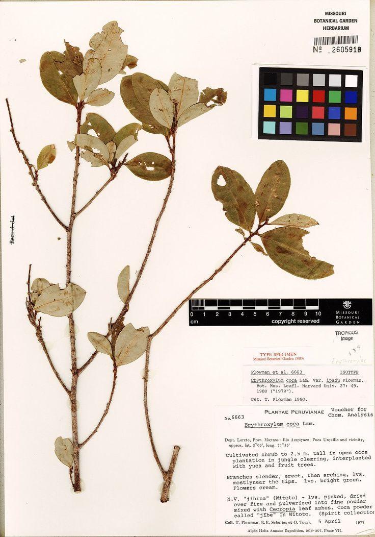 TYPE SPECIMEN Erythroxylum coca var. ipadu