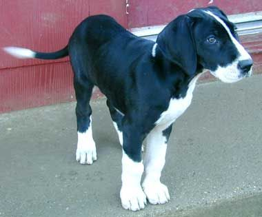 Great Dane puppy with mantle coat