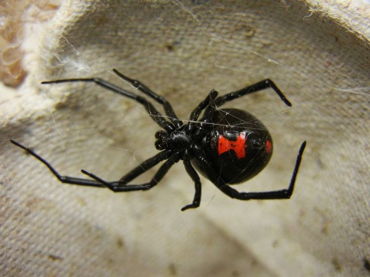 Black Widow (Latrodectus) is very dangerous for humans, but death is rare if proper medical treatment is provided