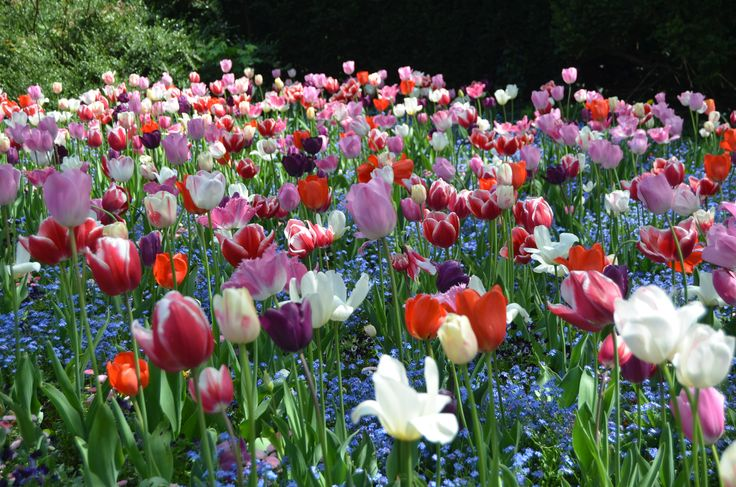 Tulipanes...