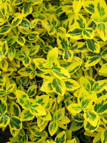Yellow Leaves Tomato Plants