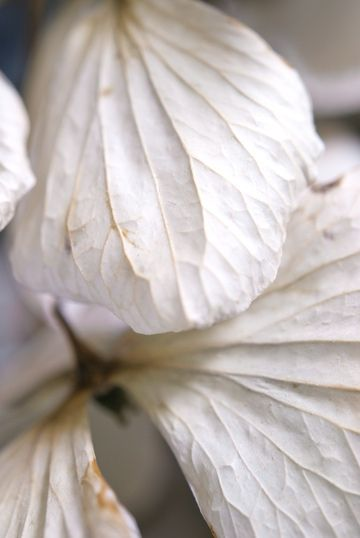 #leaves #white #macro