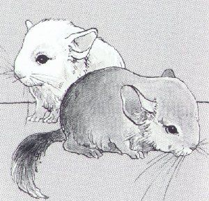 beautiful drawing of baby chinchillas