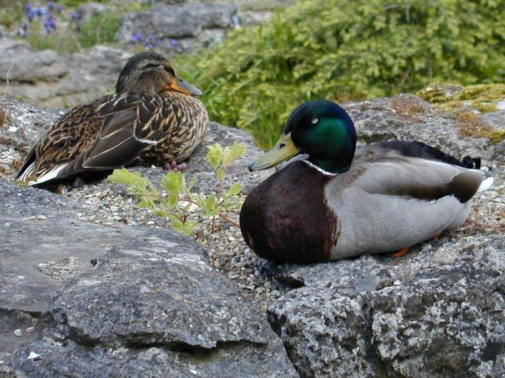 Cambridge, England: Botanic Garden: ducks sleeping on rocks