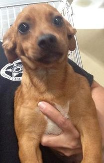 Clarkesville, GA - Dachshund Mix. Meet Harmonica, a dog for adoption. http://www.adoptapet.com/pet/19159404-clarkesville-georgia-dachshund-mix