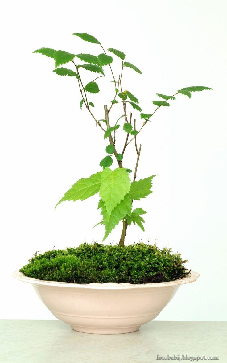 Darmowe zdjęcia, Free Photos : bonsai, wiąz, mchy w donicy ze starej miski, zdjęc...