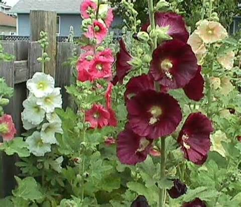 Hollyhocks A Classic English Cottage Garden Plant Great Colours And Can Grow Really Tall