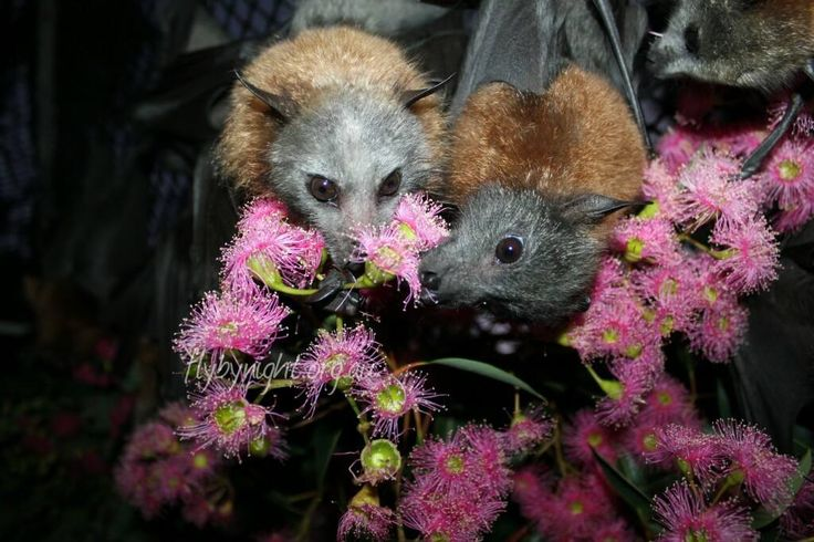 flying foxes enjoying some pollen and flowers