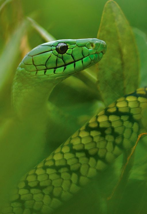 Jameson's Mamba Picture -- Snake Wallpaper -- National Geographic Photo of the…