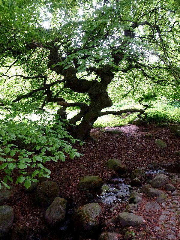 """""""Y"""" Tree at  Norrviken gardens (Norrvikens Trädgårdar) outside Båstad"""