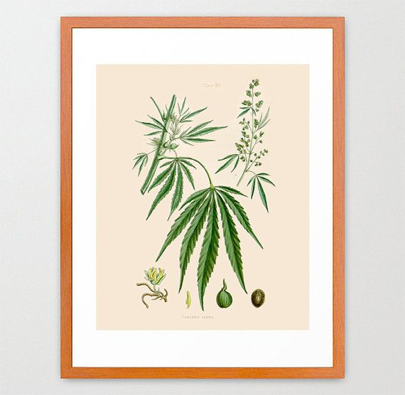 Beautiful vintage illustration of a Cannabis Sativa plant!  The print comes from a 19th Century book on Medicinal Plants.  Perfectly subtle marijuana art - love it!
