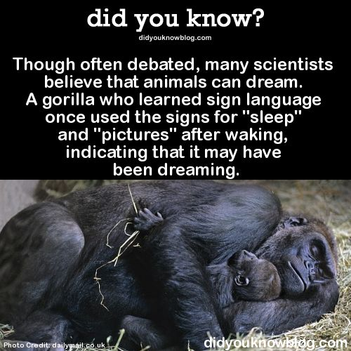 "did-you-kno: ""Though often debated, many scientists believe that animals can dream. A gorilla who learned sign language once used the signs for ""sleep"" and ""pictures"" after waking, indicating that it..."