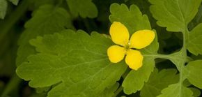 La chélidoine, fleur jaune aux quatre pétales, est une plante depuis lontemps utilisée pour traiter les verrues, comme l'explique dans cette vidéo le botaniste Olivier Escuder
