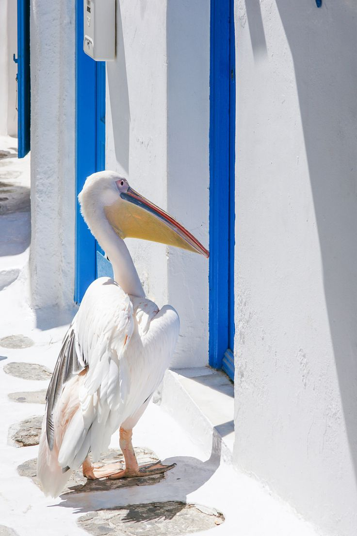 The Pelican of Mykonos, Greece.......stop feeding the wildlife....he will never let you out if his site now!