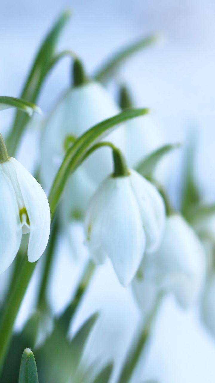 Snowdrops Flowers White Blur Bloom 720x1280 Wallpaper Flowers Bloom Flower Wallpaper