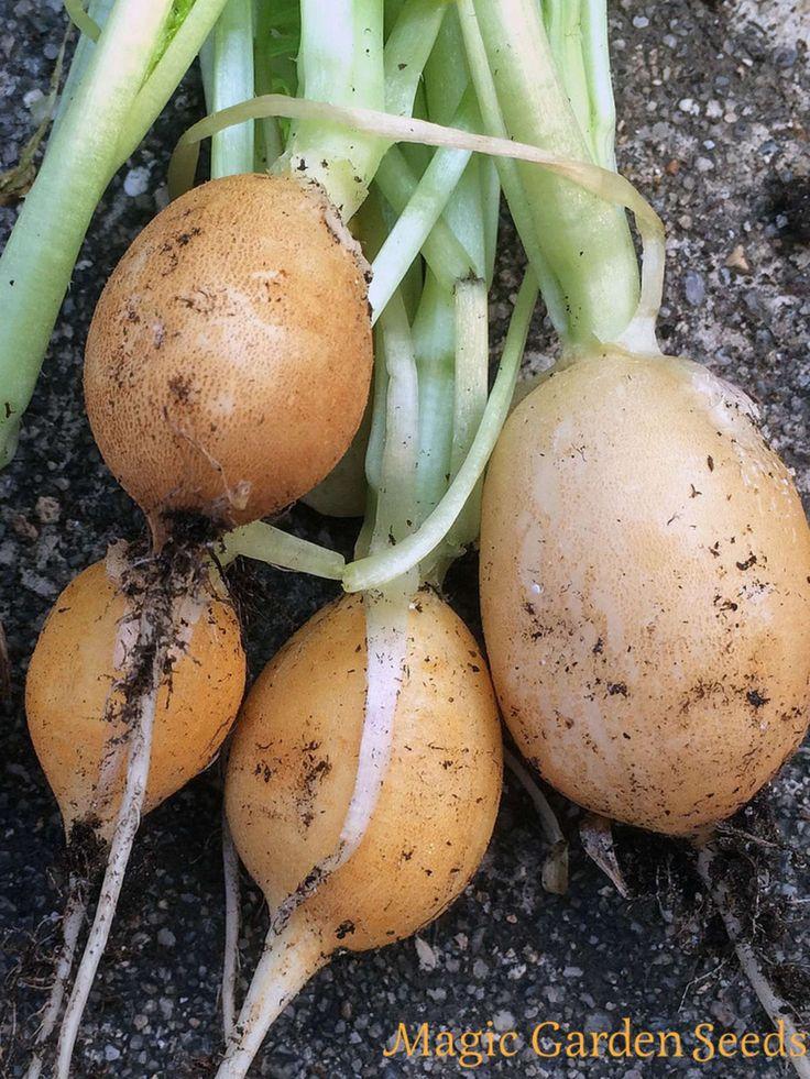 Raphanus sativus Samen | Gelbe Radieschen 'Zlata' jetzt bei Magic Garden Seeds erhältlich. Der Sämereien Versand für samenfeste Sorten.